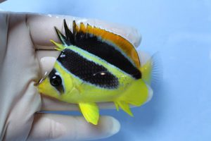 ココス・モルジブ 海水魚