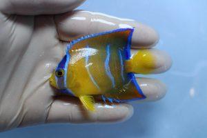 ブラジル海水魚