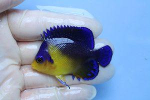 オーストラリア・ベリーズ・他 海水魚