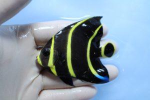 カリブ・スリランカ 海水魚