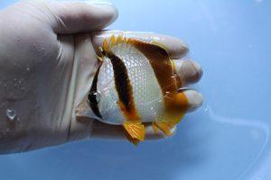 西アフリカ・カリブ 海水魚