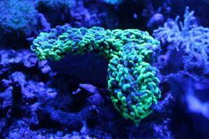 AUS UCA産SPS/LPS サンゴ