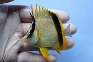 ガーナ・ハイチ 海水魚