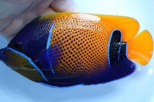 バリ・メダン 海水魚