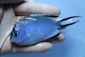 ニューカレドニア・カリブ 海水魚