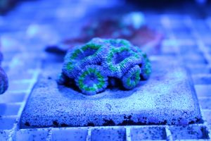 AUS産LPS サンゴ