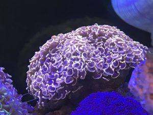 AUS UCA産LPS サンゴ