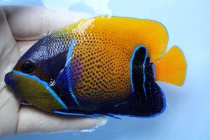 ハワイ・バリ 海水魚