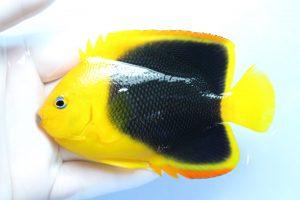 ドミニカ・カリブ 海水魚