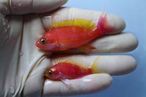 モルジブ・スリランカ 海水魚