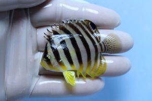 セブ・マニラ・スリランカ 海水魚