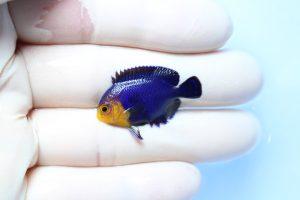 カリブ便 海水魚