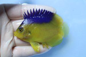 カリブ・クワジェリン 海水魚